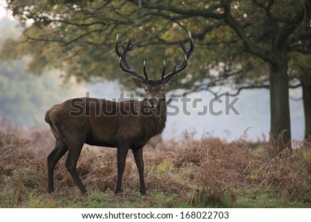 Red deer in a misty morning, Richmond forest - stock photo