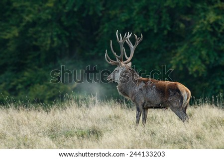 Red deer in early morning backlight and the steam comes of his body - stock photo