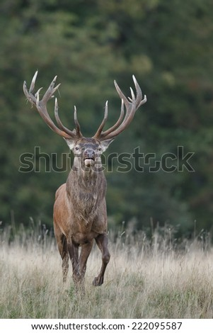 Red Deer in mating season - stock photo