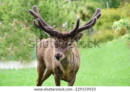 Red deer in the farm - stock photo