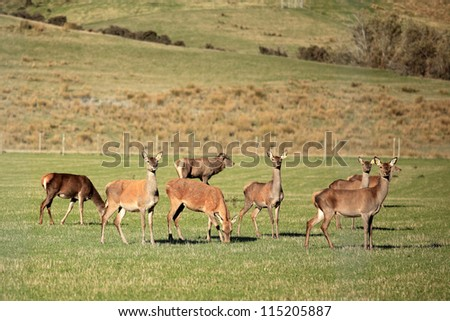 Red deer in The Pasture, New Zealand - stock photo