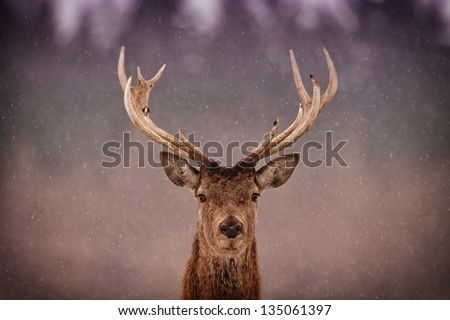 Red Deer Stag (Cervus elaphus) in the Scottish Winter Snow - stock photo