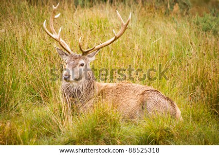 Red Deer Stag (cervus elaphus) resting / Contented stag resting in field after eating - stock photo