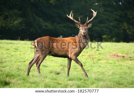 Red deer stag during the Rut, UK - stock photo
