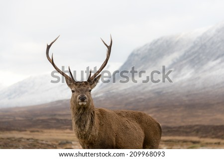 Red deer stag looking at camera in Scotish highlands. - stock photo