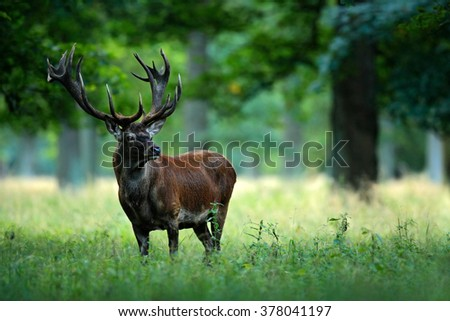 Red deer stag outside autumn forest, animal lying in the grass, nature habitat, Czech Republic - stock photo