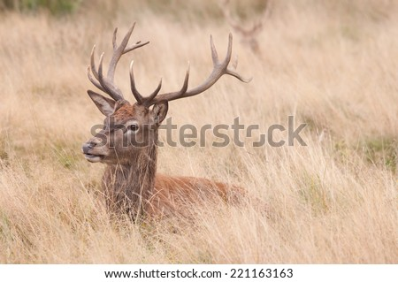 Red Deer stag resting - stock photo