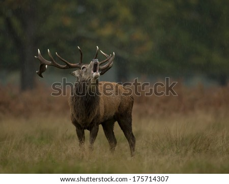 Red deer stag roaring in the rain - stock photo