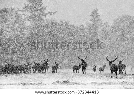 Red Deer Stags (Cervus elaphus) in the Scottish Winter Snow. (black and White Version) - stock photo