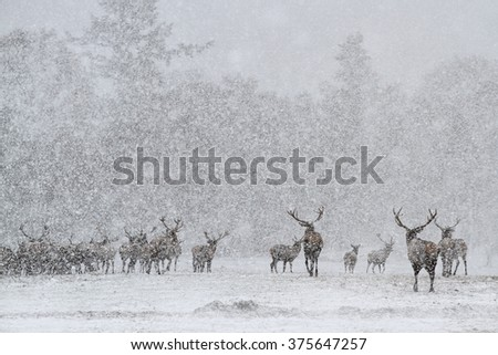 Red Deer Stags (Cervus elaphus) in the Scottish Winter Snow. (Colour Version) - stock photo