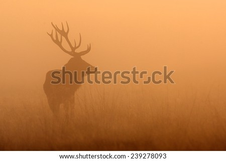 Red deer standing in the morning mist, silhouette - stock photo