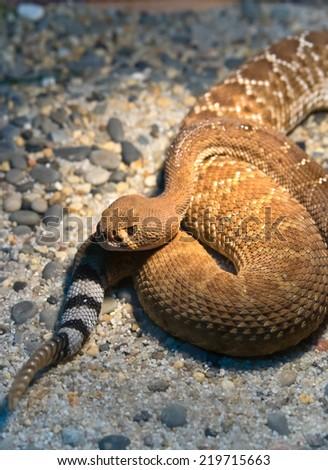 Red Diamond Rattlesnake (Crotalus Ruber) - stock photo