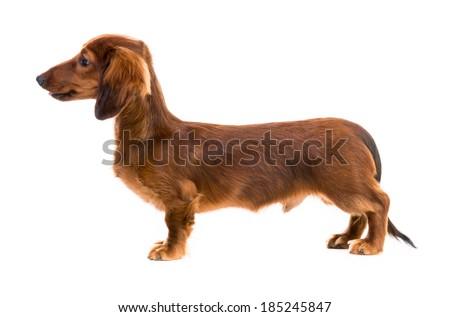 red dog breed dachshund on white background - stock photo