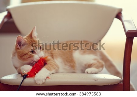 Red domestic cat on a chair with a toy. - stock photo