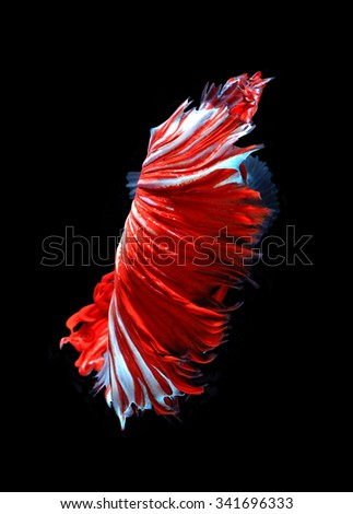 Red dragon siamese fighting fish, betta fish isolated on black background.Red fish tail. - stock photo