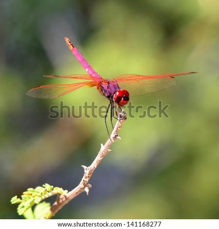 red dragonfly,Maun,Botswana - stock photo