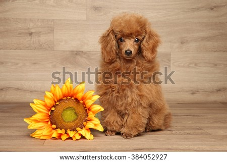 Red dwarf poodle puppy with sunflower sits on wooden background - stock photo