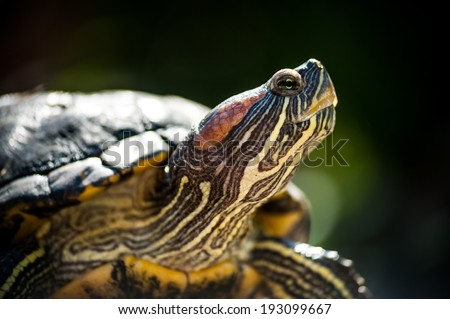 Red eared slider enjoy the sunshine close up portrait on white background  - stock photo