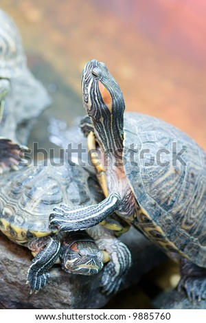 Red Eared Terrapin on Rock sun bathing. - stock photo