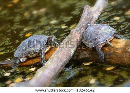 red eared turtle - stock photo