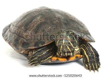 Red-eared turtle isolated on white background. - stock photo