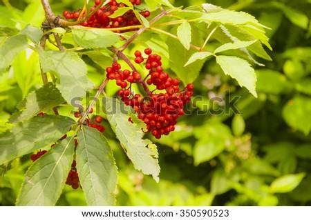 Red Elderberry (Sambucus racemosa L.)  - stock photo