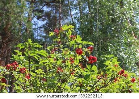 Red elderberry (Sambucus racemosa) shrub with ripe berries in the summer forest - stock photo