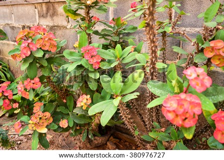 Red euphorbia milii flowers blooming,Christ thorn,Poi sian flowers - stock photo