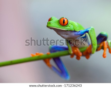 Red eye frog on the forest - stock photo