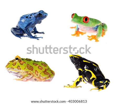 red-eye tree frog  Agalychnis callidryas, Ornate Horned Frog Ceratophrys ornata and Blue dyeing dart frog Dendrobates tinctorius azureus isolated on white - stock photo