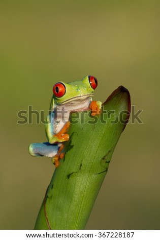 Red eye tree frog sitting on the banana leaf with clean green background, Czech republic - stock photo