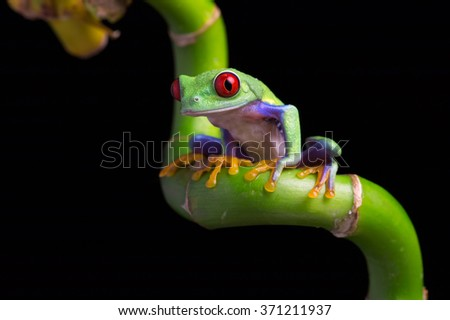 Red-Eyed Amazon Tree Frog on twisted Bamboo/Red-Eyed Amazon Tree Frog/Red-Eyed Amazon Tree Frog (Agalychnis Callidryas) - stock photo