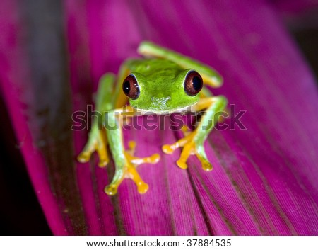 red eyed green tree frog on purple plant leaf, panama, central america. vibrant rainbow multicolored exotic amphibian in tropical jungle rainforest - stock photo