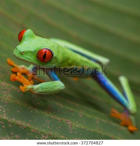 Red-eyed Tree Frog, Agalychnis callidryas, Costa Rica - stock photo