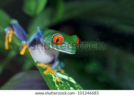 Red Eyed Tree Frog (Agalychnis callidryas) in the rainforest. - stock photo