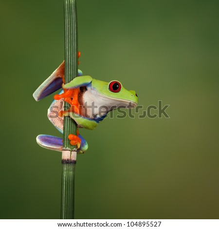 Red eyed tree frog (Agalychnis Callidryas) looking around - stock photo
