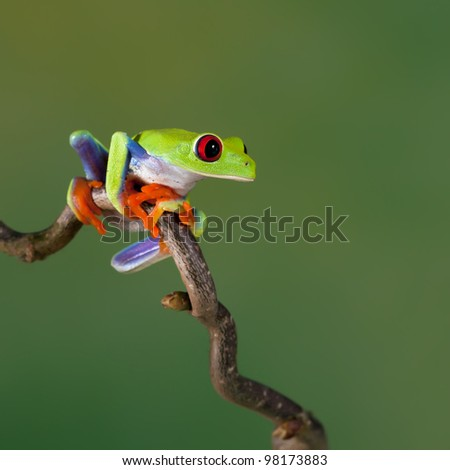 Red-eyed Tree Frog (Agalychnis Callidryas) sitting on a branch - stock photo