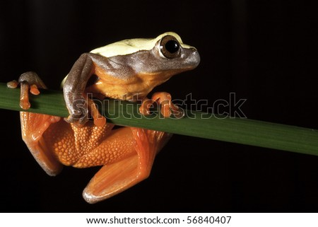 red eyed tree frog big eyes sitting on twig night amazon rain forest exotic beautiful colorful nocturnal animal with bright colors branch black background copy space jungle animal endangered species - stock photo