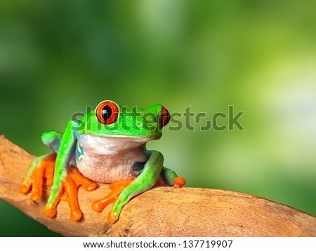 red eyed tree frog in tropical rain forest of Costa Rica. Natural purity and serenity, harmony in nature and a balanced ecosystem form basis of eco tourism conservation and protection of rainforest - stock photo