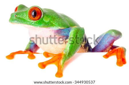 red eyed tree frog isolated on white, a tropical treefrog from the exotic rain forest of Costa Rica Panama and Nicaragua - stock photo