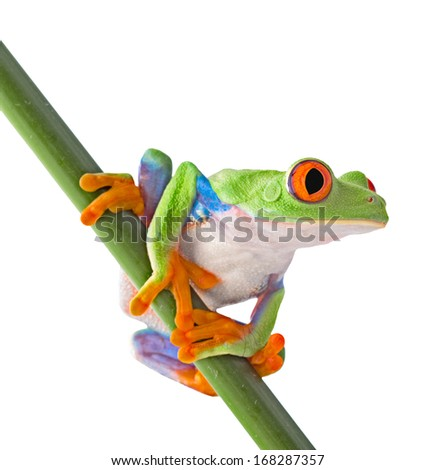 red eyed tree frog isolated on white. Agalychnis callidrias a tropical amphibian from the rain forest of Costa Rica and Panama. Beautiful jungle animal.  - stock photo