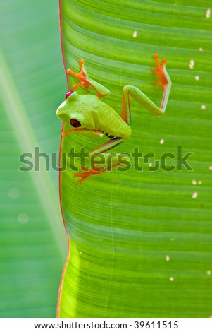 red-eyed tree frog on a leaf - stock photo