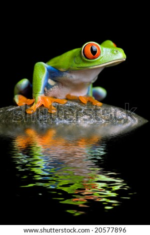 red-eyed tree frog on a rock with water reflection isolated on black - stock photo