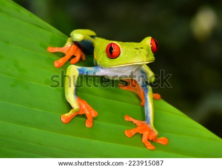 red eyed tree frog or Agalychnis callidryas native to tropical rainforests in panama and costa rica . also called Green Tree Frog by green color has striking red eyes, blue flanks and orange hands. - stock photo