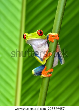 red eyed tree frog or gaudy leaf frog or Agalychnis callidryas a arboreal hylid native to tropical rainforests in Central America in panama and costa rica . Mistakenly also called the Green Tree Frog  - stock photo