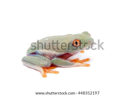 Red eyed tree frogling, Agalychnis callidrias, isolated on white background - stock photo