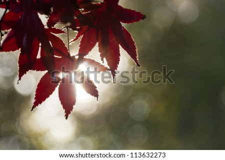 Red Fall Leaves before Sunset - stock photo