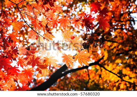 red fall maple leafs illuminated background - stock photo