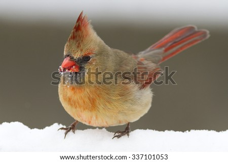 Red female Cardinal bird standing in the white winter snow - stock photo