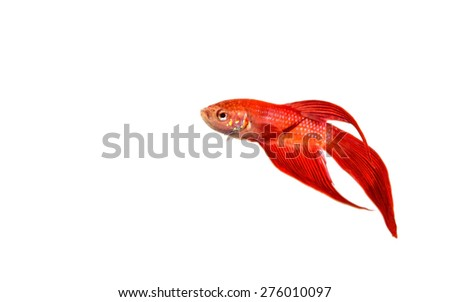 Red fighting fish isolated on white background - stock photo